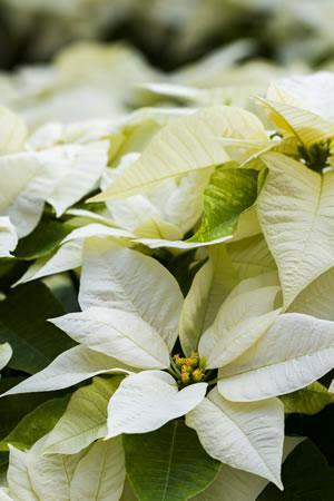weihnachtsstern pflege der pflanze gie en schneiden. Black Bedroom Furniture Sets. Home Design Ideas