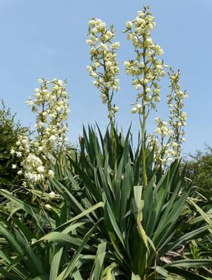 F dige palmlilie gartenyucca yucca filamentosa pflege for Garten yucca ableger