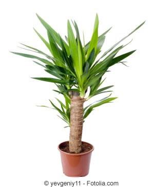 Yucca palme richtig k rzen was darf man abschneiden for Zimmer yucca palme bluht
