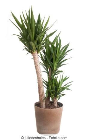 yucca-palme richtig kürzen - was darf man abschneiden?, Hause deko