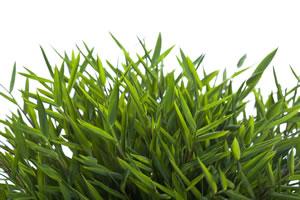 Zimmerbambus pogonatherum paniceum pflege - Bambus pflegen zimmer ...