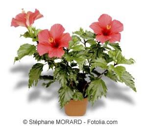 zimmerhibiskus hibiskus rosa sinensis pflege als zimmerpflanze. Black Bedroom Furniture Sets. Home Design Ideas