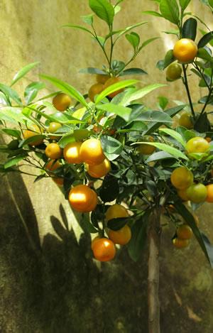 Mandarinenbaum als Kübelpflanze