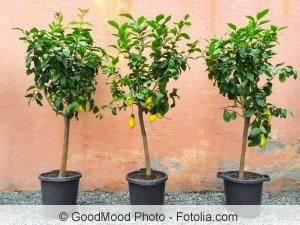 zitronenbaum vermehren und veredeln ableger stecklinge. Black Bedroom Furniture Sets. Home Design Ideas