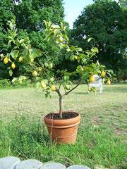 Zitronenbäumchen im Kübel