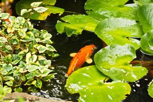 Goldfische Im Gartenteich Haltung Berwintern