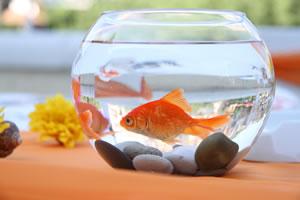 goldfische im gartenteich haltung berwintern. Black Bedroom Furniture Sets. Home Design Ideas
