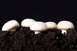 pilze selber z chten steinpilze champignons und co. Black Bedroom Furniture Sets. Home Design Ideas