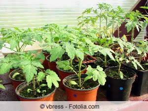 tomaten anbauen anleitung zum s en und pikieren. Black Bedroom Furniture Sets. Home Design Ideas