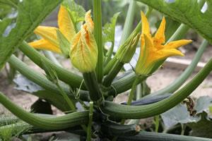 zucchini anbau und pflege der pflanzen. Black Bedroom Furniture Sets. Home Design Ideas