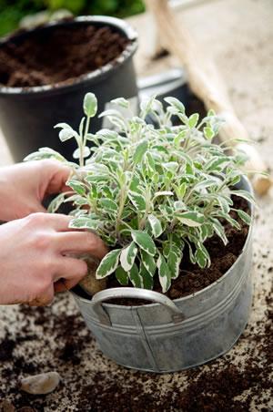 salbei anbau pflanzen pflege und ernte. Black Bedroom Furniture Sets. Home Design Ideas