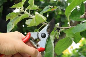 apfelbaum pflanzen pflege anleitung zum schneiden. Black Bedroom Furniture Sets. Home Design Ideas