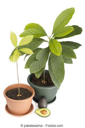 avocado avocadobaum z chten pflanzen und pflege. Black Bedroom Furniture Sets. Home Design Ideas