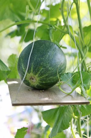 melonen anbauen pflanzen von wassermelone und honigmelone. Black Bedroom Furniture Sets. Home Design Ideas