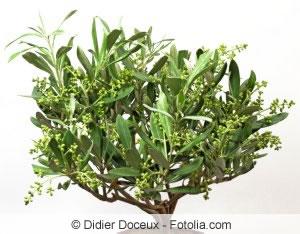 olivenbaum richtig schneiden anleitung und zeitpunkt. Black Bedroom Furniture Sets. Home Design Ideas