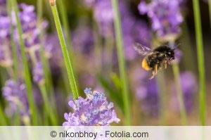 Hummeln vertreiben hummelnest sanft entfernen - Lavendel zimmerpflanze ...