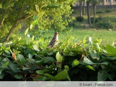 vogelschutzhecke anlegen wann darf man hecken schneiden