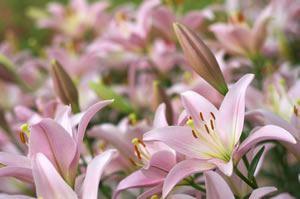 lilien pflege lilie pflanzen schneiden berwintern. Black Bedroom Furniture Sets. Home Design Ideas