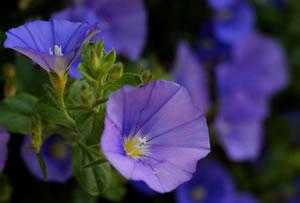 blaue mauritius pflanze convolvulus sabatius pflege und. Black Bedroom Furniture Sets. Home Design Ideas