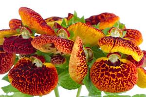 pantoffelblume calceolaria pflege vermehren und sorten. Black Bedroom Furniture Sets. Home Design Ideas