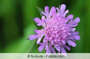 witwenblume knautia arten und pflege. Black Bedroom Furniture Sets. Home Design Ideas