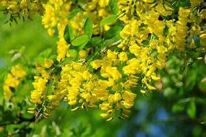 Gelbe Winterharte Pflanzen : goldregen pflege und schneiden ~ Markanthonyermac.com Haus und Dekorationen