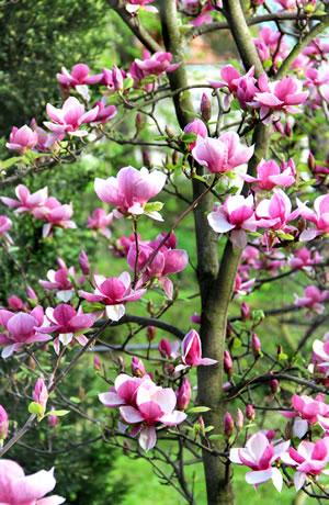 magnolie magnolienbaum pflege schneiden tulpen magnolie. Black Bedroom Furniture Sets. Home Design Ideas