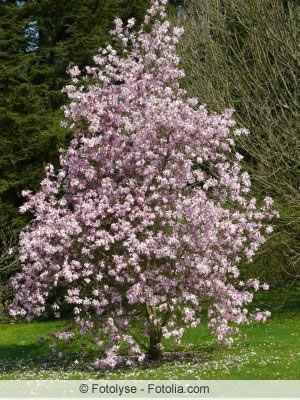 sternmagnolie magnolia stellata pflanzen und pflege. Black Bedroom Furniture Sets. Home Design Ideas