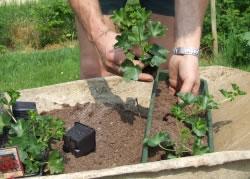 geranien pflege pelargonien berwintern vermehren d ngen. Black Bedroom Furniture Sets. Home Design Ideas