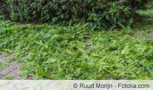 taxus baccata 39 fastigiata robusta 39 s uleneibe pflege