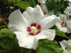 hibiskus pflege schneiden vermehren und berwintern. Black Bedroom Furniture Sets. Home Design Ideas