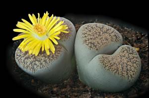 lebende steine lithops sorten pflege und zucht. Black Bedroom Furniture Sets. Home Design Ideas