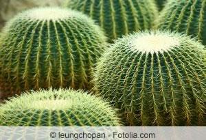 echinocactus grusonii schwiegermutterstuhl pflege des. Black Bedroom Furniture Sets. Home Design Ideas