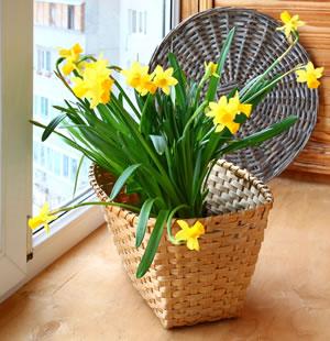 narzissen osterglocken pflanzen und pflege im topf. Black Bedroom Furniture Sets. Home Design Ideas