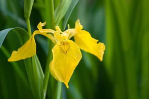 schwertlilie iris pflanzen pflege vermehren und schneiden. Black Bedroom Furniture Sets. Home Design Ideas