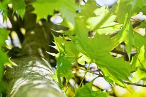 ahornbaum ahorn steckbrief pflanzen und schneiden. Black Bedroom Furniture Sets. Home Design Ideas