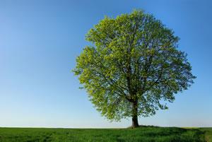 Linde Baum Steckbrief : sommerlinde winterlinde linde standort pflanzen und pflege ~ Orissabook.com Haus und Dekorationen