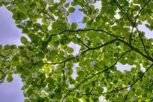 taschentuchbaum taubenbaum davidia involucrata pflanzen und pflege. Black Bedroom Furniture Sets. Home Design Ideas