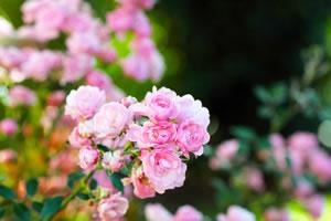 rosen vermehren rosenvermehrung durch samen und stecklinge. Black Bedroom Furniture Sets. Home Design Ideas