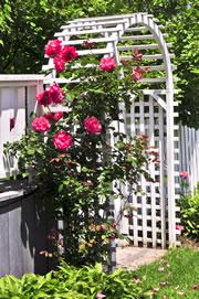 kletterrosen pflanzen pflege schneiden. Black Bedroom Furniture Sets. Home Design Ideas