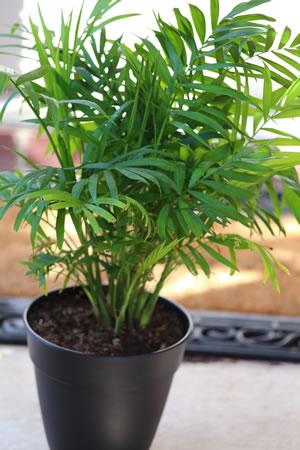 Zimmerpalmen palmen arten und pflege als zimmerpflanze - Zimmerpalme arten ...