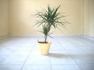 dracaena marginata pflege vermehren schneiden und tipps bei blattverlust. Black Bedroom Furniture Sets. Home Design Ideas