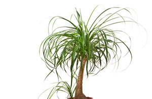giftige und ungiftige zimmerpflanzen und pflanzen. Black Bedroom Furniture Sets. Home Design Ideas