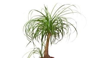 elefantenbaum flaschenbaum beaucarnea recurvata pflege. Black Bedroom Furniture Sets. Home Design Ideas