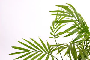 areca palme dypsis lutescens pflege tipps. Black Bedroom Furniture Sets. Home Design Ideas
