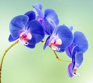 blaue orchideen pflege und anleitung zum f rben. Black Bedroom Furniture Sets. Home Design Ideas