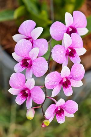 dendrobium orchidee pflege schneiden vermehren und arten. Black Bedroom Furniture Sets. Home Design Ideas