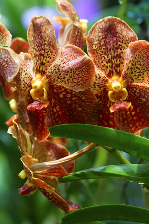 vanda orchidee pflege im topf und im glas. Black Bedroom Furniture Sets. Home Design Ideas