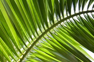 zimmerpalmen palmen arten und pflege als zimmerpflanze. Black Bedroom Furniture Sets. Home Design Ideas