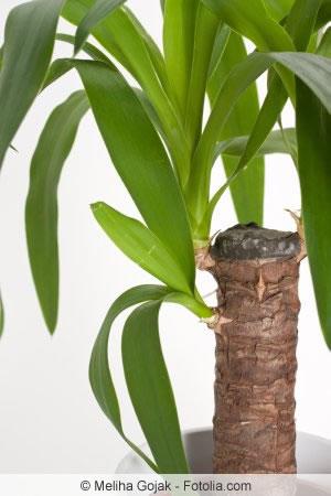 yucca palme richtig k rzen was darf man abschneiden. Black Bedroom Furniture Sets. Home Design Ideas